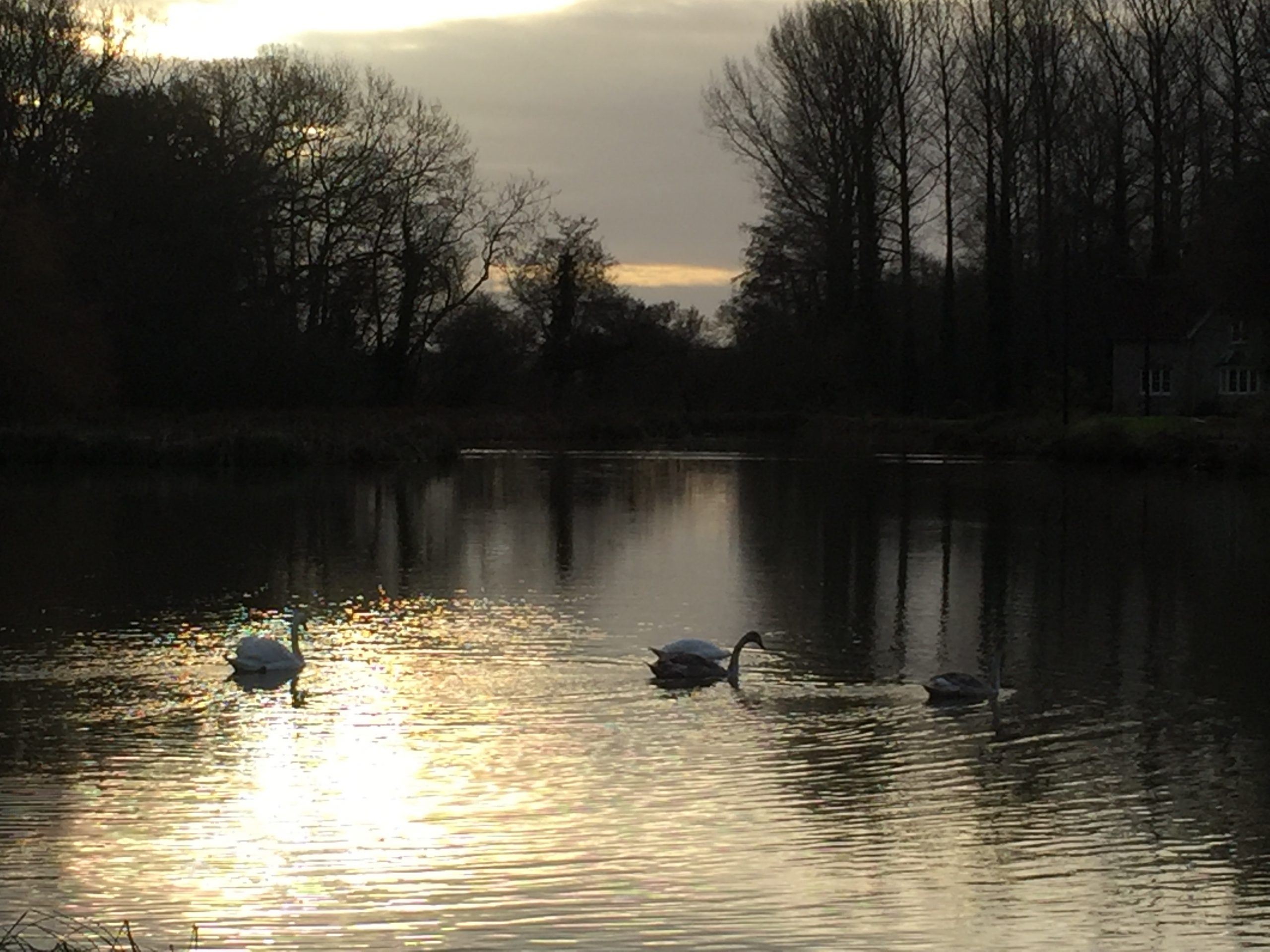 Swans in the evening on Bowley Mill pond